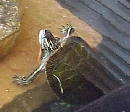 Mature male red-eared slider, about 7